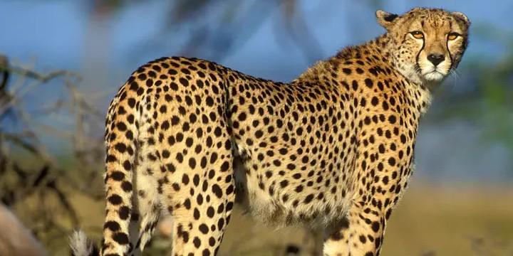Cheetah Quotes