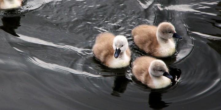 Ducks Quotes