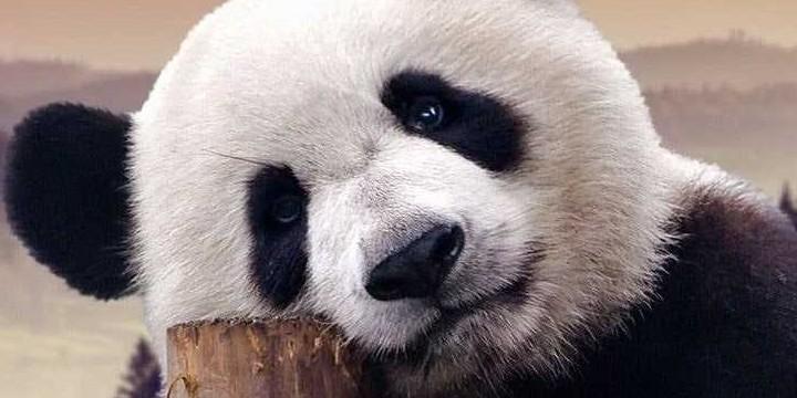 Panda Quotes