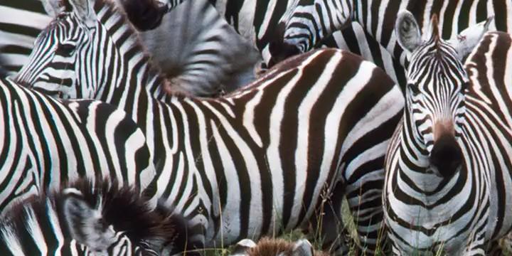 Zebra Quotes
